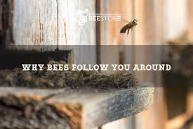 Why <b>Bees Follow</b> Humans - <b>The Bee</b> Store