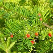 Taxaceae - Wikipedia