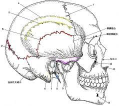 「頭蓋骨」の画像検索結果