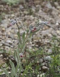 Cynoglossum cheirifolium, Carruchera