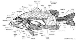 human anatomy  gallery pictures of fish anatomy fish physiology        fish anatomy the main skeletal element is the vertebral column composed of articulating vertebrae which are