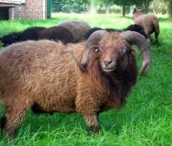 """Résultat de recherche d'images pour """"image mouton"""""""