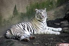 الفهود أكثر الحيوانات شراسة ورشاقة. Images?q=tbn:ANd9GcTlWPcMgOmAsS_eaqScd7_8GAB-lEOEfIMbAtgKhSfBXz0Y7TPJf2qe161Y