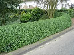Image result for beautiful privet plants