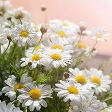 разное: лучшие изображения (29) | Beautiful flowers, Bellis ...