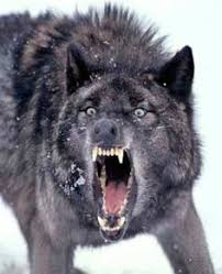 Cannibal Wolf? on Pinterest | Wolves, Timber Wolf and Black Wolves via Relatably.com
