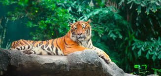 international tiger day th jul days of the year