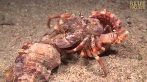 Incredible footage of hermit crab changing <b>shells</b> with anemones ...