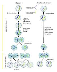 learning mitosis  cell division diagram   humandiagram infomeiotic cell division diagram
