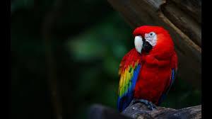 Как содержать <b>попугая ара</b>? - YouTube