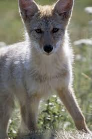 Image result for coyote puppy pictures