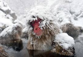 Image result for japanese snow monkey