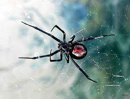 Resultado de imagem para viuva negra aranha