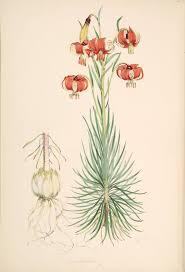 Lilium pomponium - Wikipedia