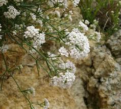 Asperula cynanchica – Wikipédia, a enciclopédia livre
