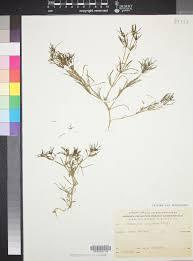 Pteranthus dichotomus - SEINet Portal Network
