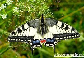<b>Махаон бабочка</b>. Образ жизни и среда обитания <b>бабочки махаон</b> ...