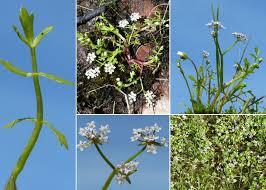 Helosciadium crassipes W.D.J.Koch ex Rchb. - Guida alla flora degli ...