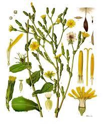 Lactuca virosa - Wikipedia