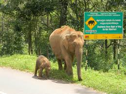 elephant family an adventure of elephants art and conservation elephant calf in front of board 2 c ramith m wti