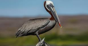 Brown Pelican Life History, All About Birds, Cornell Lab of Ornithology