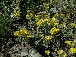 Alyssum alpestre - Wikipedia, la enciclopedia libre