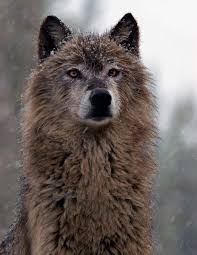 1000 ideas about gray wolf on pinterest wolves white wolves and arctic wolf brown dark gray