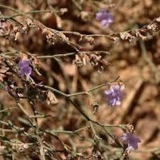 Checklist Flora - Sicilia - Genere: Limonium - Etna, Monti Iblei ...