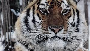 The True Story Of A <b>Man</b>-Eating <b>Tiger's</b> 'Vengeance' : NPR