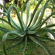 Aloe polyphylla,Spiral Aloe   Gardens & <b>Flowers</b>   <b>Succulent</b> cuttings ...