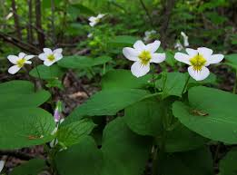 Image result for white violet