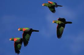 Resultado de imagem para papagaios VOANDO