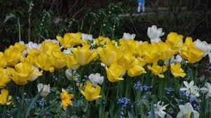 Podrod Leiostemones | Tulipány