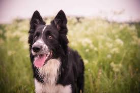 The 110 Most Popular <b>Border Collie</b> Names of 2019