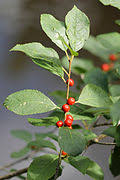 Flora of New York/Aquifoliaceae, Campanulaceae, Menyanthaceae ...