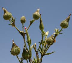 Silene conoidea L. | Flora of Israel Online