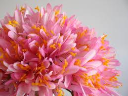Resultado de imagem para flor  agapanto