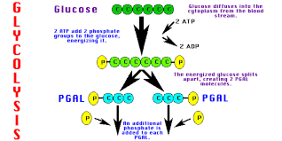 simple glycolysis cycle diagram   free collection of pictures of        aerobic cellular respiration stages further krebs cycle diagram as well glycolysis steps diagram besides glycolysis with