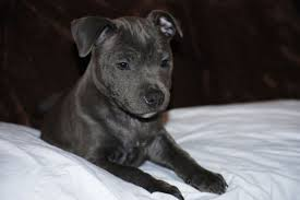 Image result for blue american staffordshire terrier puppies