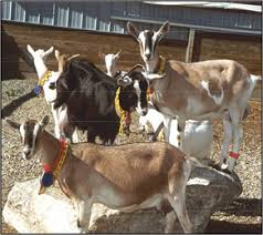 Image result for Goats as Bioreactors
