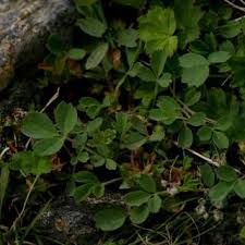 Sibbaldia procumbens | Online Atlas of the British and Irish Flora