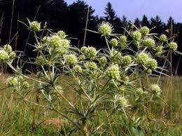 şifalı bitkiler ve isimleri ile ilgili görsel sonucu