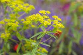 Euphorbia ceratocarpa - BBC Gardeners' World Magazine