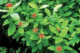 Image result for spicebush