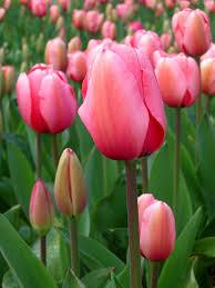 Tulipa - Wikipedia
