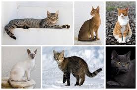 <b>Domestic cat</b>