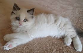 pictures of ragdoll cats their paws crossed ragdoll kitten seal bicolor paws crossed