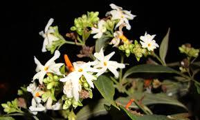 Image result for harsingar plant