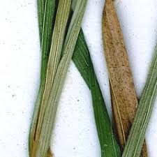 Carex pallescens (pale sedge): Go Botany