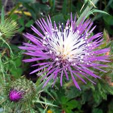 GALACTITES TOMENTOSA SEEDS - Plant World Seeds